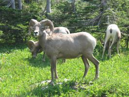 Big horn  sheep 2 by Mind-Illusi0nZ-Stock