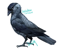 jackdaw speedpaint by rainfreezer