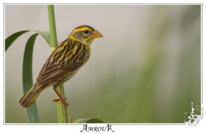 Baya Weaver - female by AMROU-A