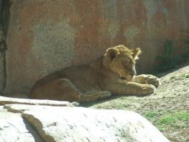 Lion Cub in sun 2 by dtf-stock