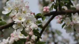 Apple tree flowers by Nirvasher