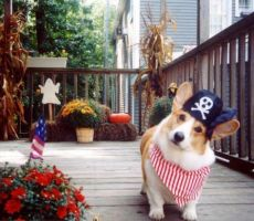 Pirate Corgi by Welsh-Corgi-Fans