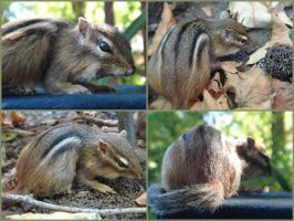 Chipmunk Mount by aquiafin