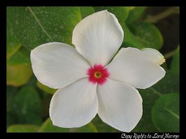 White Flower by uae4u