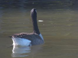 Goose Stock 2 by Marzipan-Stock