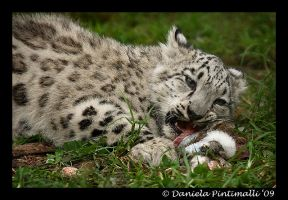 Baby Snow Leopard: Eat Meat II by TVD-Photography