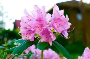 Pink Rhododendron 4252 by TommyPropest-Candler