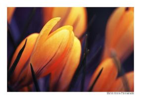 Crocus by MCG0603