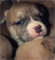 Darling Pit Bull Pups by GrotesqueDarling13