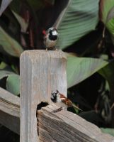 finches by Mrs-Mims