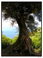 Ancient Olive Tree by Hapfairy