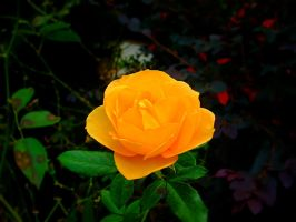 Yellow Rose II by Tickle-Your-Fancy