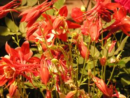 Red Columbine by pisthelimit