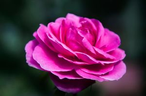 Pink-rose- by delicate-beauty-x