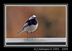 Pied Wagtail II by andy-j-s