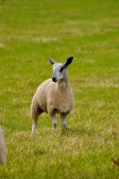 The James Dean of Sheeps by Dr-Koesters
