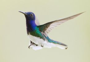 To infinite and beyond - White-necked Jacobin by Jamie-MacArthur