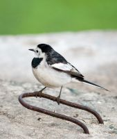 Pied Wagtail by tectonixr
