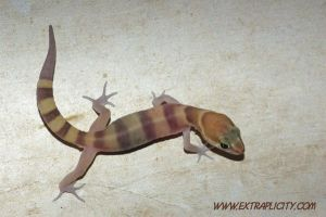 Banded Gecko by PatGoltz