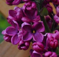 Spring Lilac by Forestina-Fotos