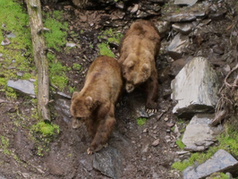 Kodiak Grizzly Bears 2 (Stock?) by iamRinaBear