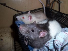 basket rats by RatteMacchiato