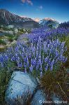 Eastern Sierra Lupine Sunrise by narmansk8
