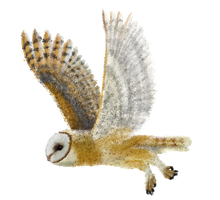 Barn Owl - Fly away by momodory09