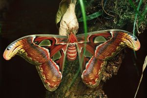 Atlas Moth 2 by Tinap