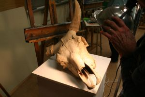 Cow Skull Stock - 1 by SafariSyd