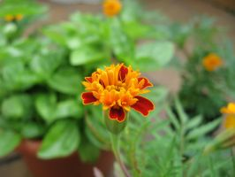 French Marigold by nighthawk