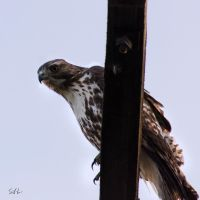Immature Red-tailed Hawk by AzureWindProductions