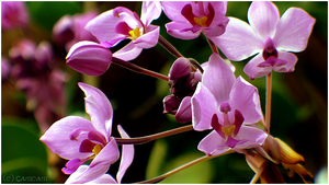 - Orchidee colony - by Cam-lou-photos
