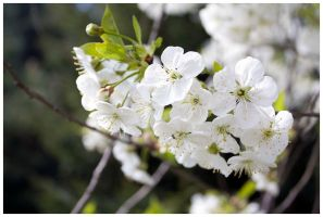 Cherry blossom by Cailleach-Verinen