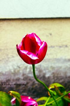 The Tulip by kyofanatic1