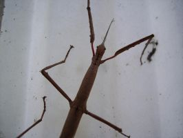 Stick Insect 10 by OWTC-Stock