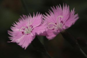small pink flowers by photorox33