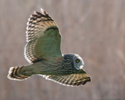 Short eared owl 3 by pixellence2