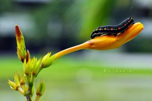 Caterpillar by hirza