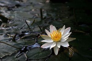Water lily by Ilharess
