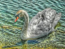 Hyde Park Swan by sazzyarmani