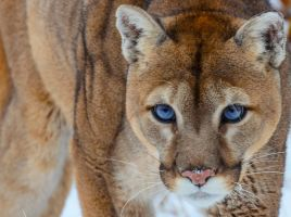 Cougar Stare II by White-Voodoo
