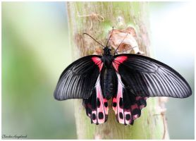 Butterfly 6 by Claudia008