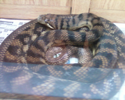 The rescued 12ft scrub python by CrazyViper