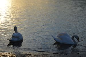 Swans in sunset by A1Z2E3R