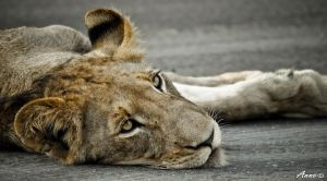 Just Lion on the road by AnneMarks