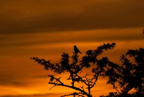 Evening song by NicoFroehberg