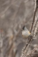 Black-crested Titmouse 1627 by robbobert