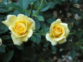 Two Yellow Roses by oneofakindgurl
