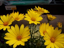 Yellow Blooms by theNanna